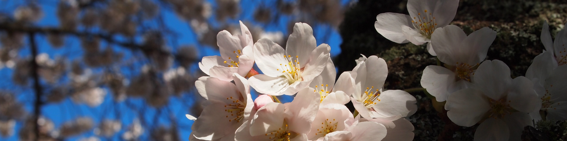 close-up of cherry blossom cluster in the quad